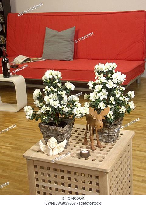 Azalea, Formosa Azalea, Sim's Azalea, Rhododendron simsii, potted plant in a living room