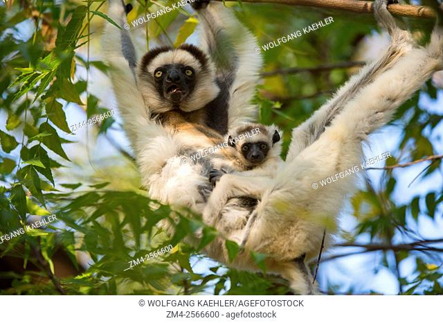 Verreaux's sifaka (Propithecus verreauxi), or white sifaka with baby in tree at Berenty Reserve in southern Madagascar