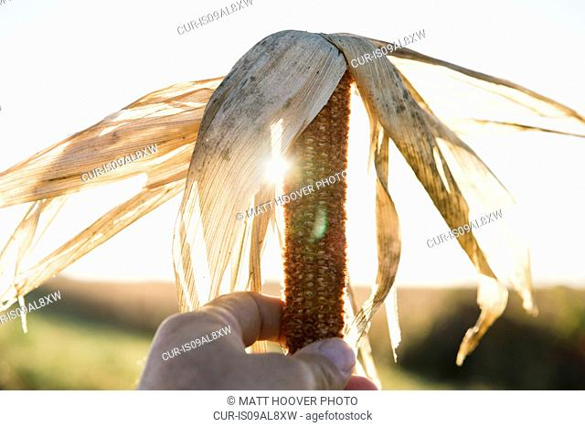Close up of male farmers hand holding dried corn cob in field