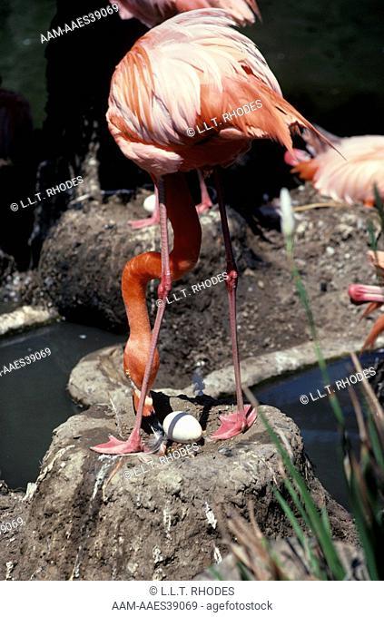Caribbean Flamingo with egg (Phoenicopterus r. ruber)