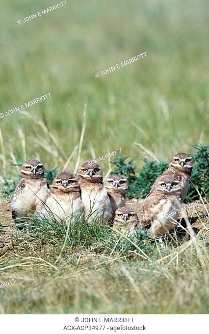 Burrowing owl Athene cunicularia chicks at their nest cavity or den or burrow. Burrowing owls are an endangered species in Canada