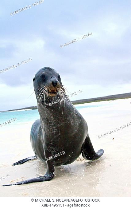 Galapagos sea lions Zalophus wollebaeki hauled out on the beach in the Galapagos Island Archipelago, Ecuador  MORE INFO The population of this sea lion...