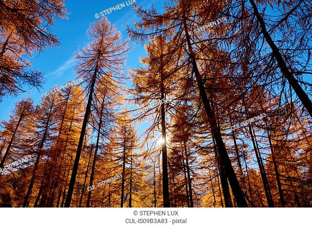 Forest, low angle view, Schnalstal, South Tyrol, Italy