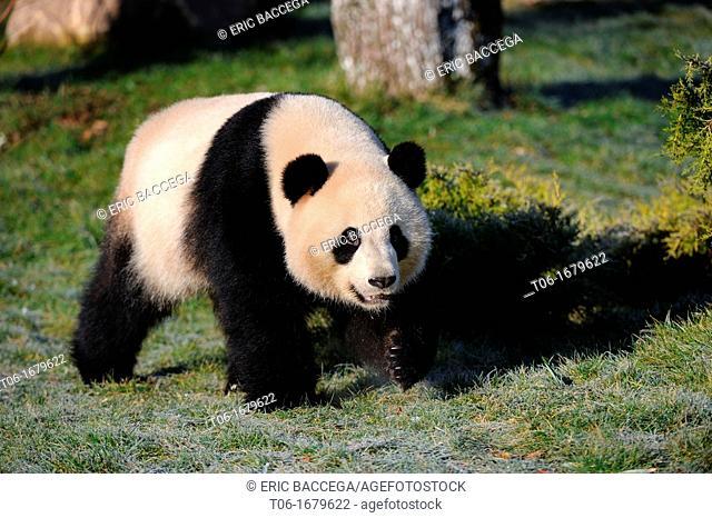 Giant panda walking Ailuropoda melanoleuca captive, ZooParc, Beauval