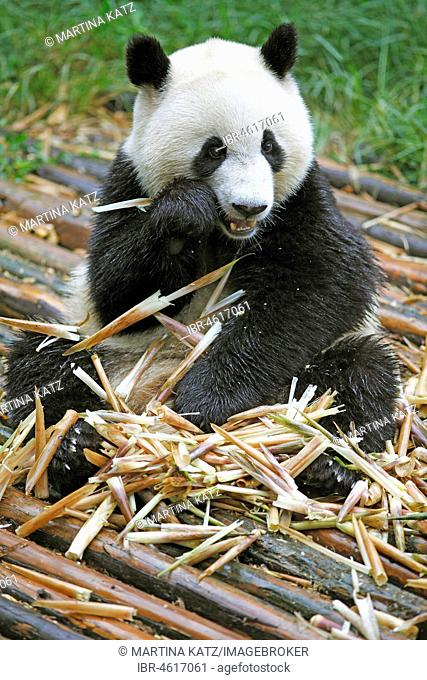 Panda bear or Giant Panda (Ailuropoda melanoleuca) eats bamboo shoots, Chengdu Research Base of Giant Panda Breeding, Chengdu, Sichuan, China