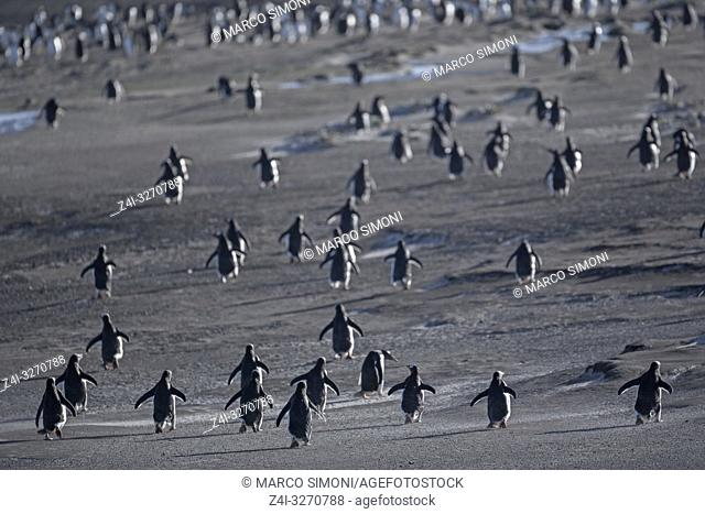 Gentoo Penguins (Pygocelis papua papua) walking, Falkland Islands, South Atlantic, South America