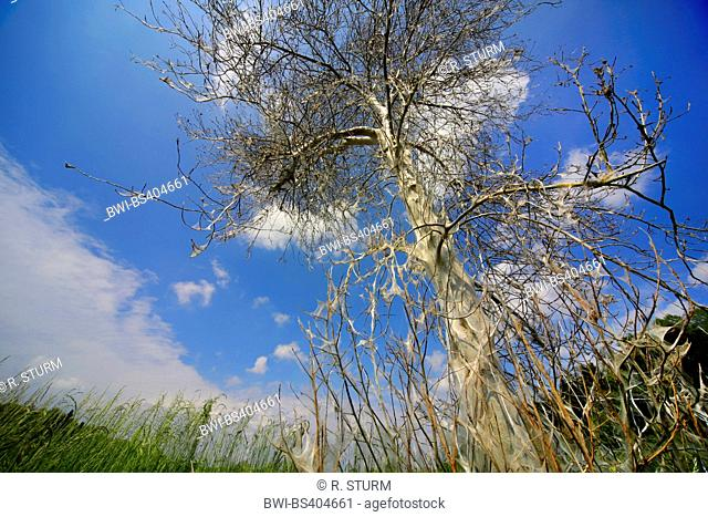 Bird-cherry Ermine (Yponomeuta evonymella, Yponomeuta padi), tree in caterpillar web, Germany, Bavaria