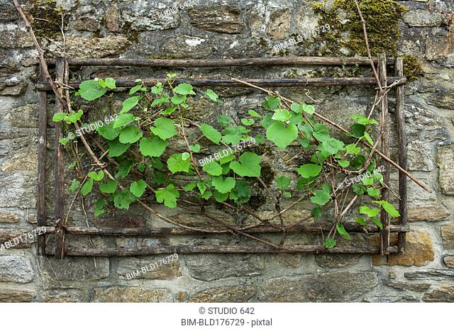 Ivy growing from hole in stone wall