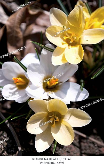 A group of yellow and white snow crocus