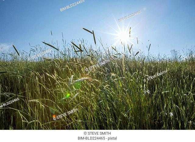 Tall grass on sunny day