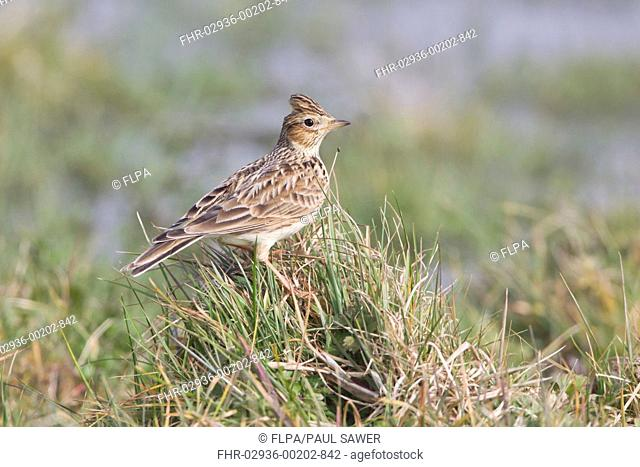Skylark (Alauda arvensis) adult, standing on grass tussock, Suffolk, England, March
