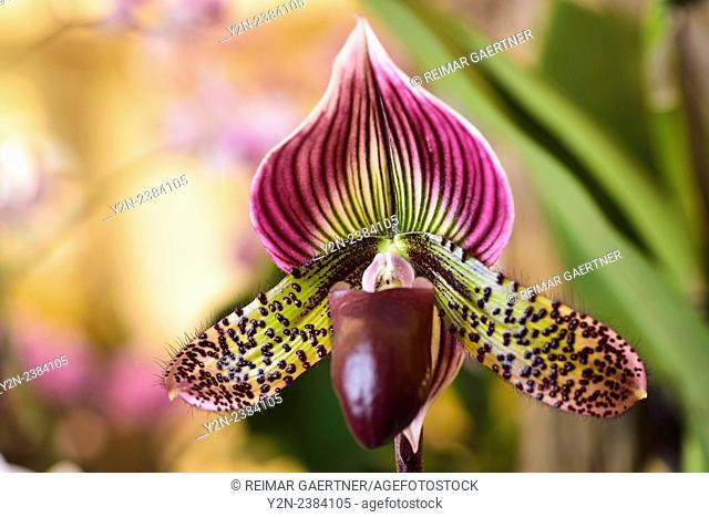 Paphiopedilum Venus Slipper orchid flower hybrid on light background