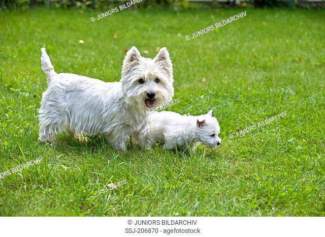 West Highland White Terrier. Puppy (7 weeks old) with mother on a lawn. Germany