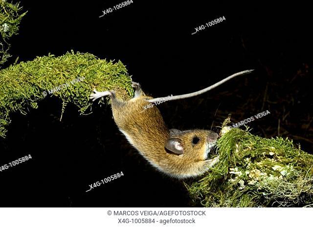 Ratón de campo estirándose para superar un obstáculo, Wood mouse stretching, Apodemus sylvaticus  Pontevedra, España