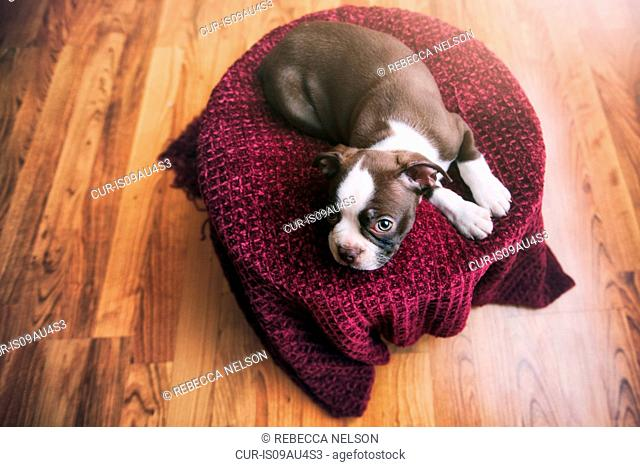 High angle view of Boston Terrier puppy lying on purple blanket