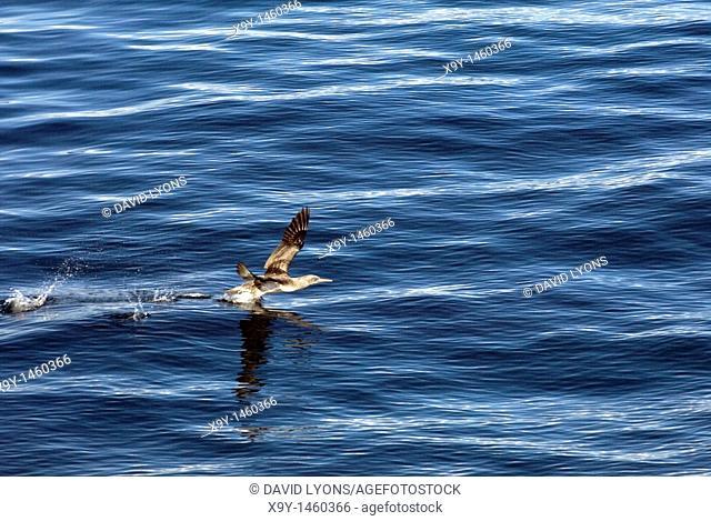 Juvenile gannet Sula bassana bird seabird takes flight from surface of sea  Common in many Scottish, UK coastal areas
