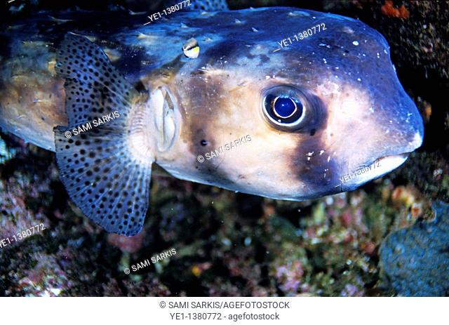 Portrait of a Freckled Porcupinefish Diodon holocanthus, Le Sournois Reef, Noumea Lagoon, New Caledonia