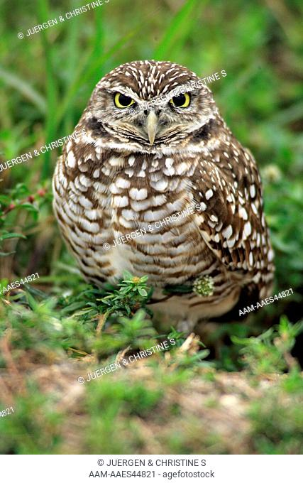 Burrowing Owl (Athene cunicularia) Adult Cape Coral, Florida
