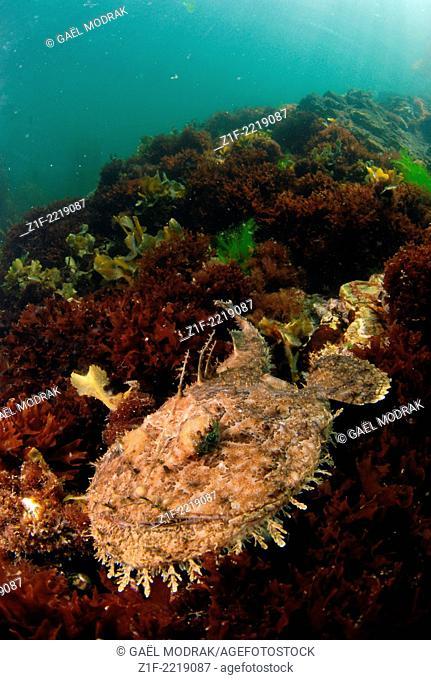 Monkfish hidden on the sea floor in Brittany, France. Lophius piscatorius