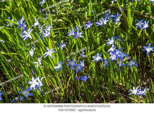 Lots of Glory-of-the-snow flowers Chinodoxa luciliae in a garden, Germany, Europe