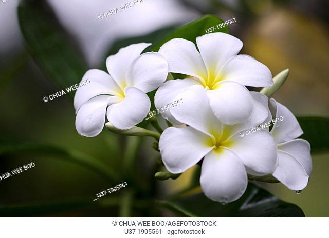 Frangipani. Image taken at Orchid Garden, Kuching, Sarawak, Malaysia