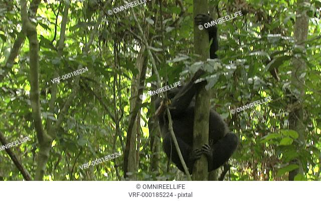 Western Lowland Gorilla descending down trunk of tree in forest