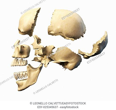 Human skull with parts exploded. Side view, on white background. Clipping path included