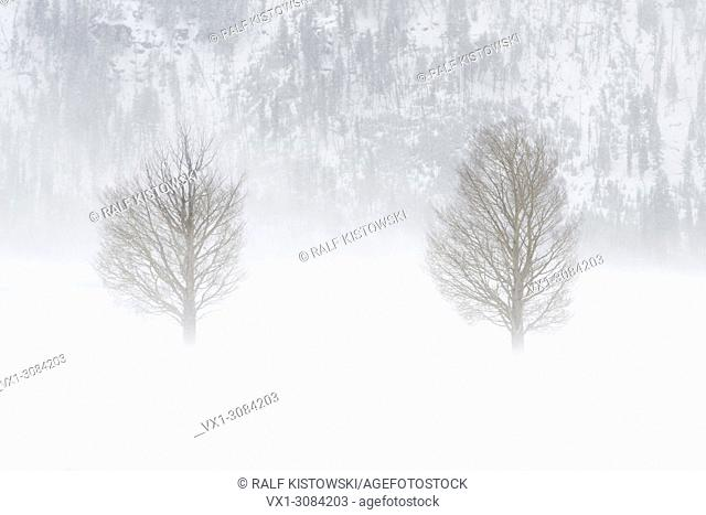 Trees hit by a blizzard, in heavy snow storm, strong winds blasting snow through Lamar Valley, hard, harsh winter weather conditions, Yellowstone NP, WY, USA