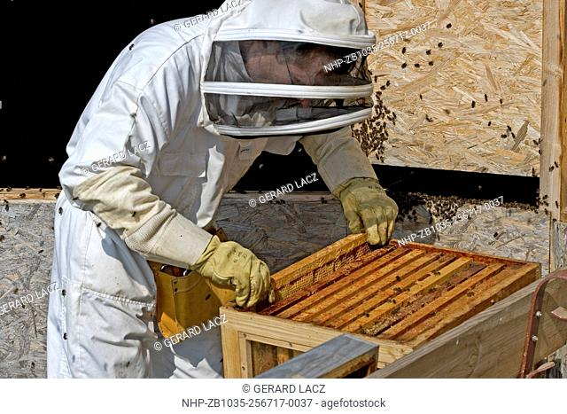Honey Bee, apis mellifera, Worker looking after Larvae on Brood Comb, Man working on Bee Hive in Normandy