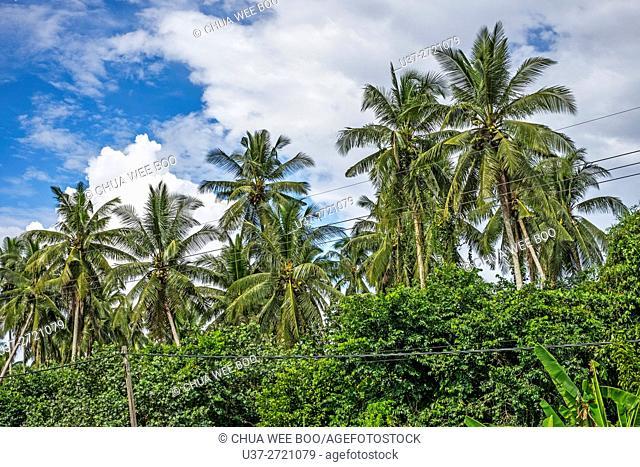 Coconut trees at Kampong Asas Jaya, Sarawak, Malaysia