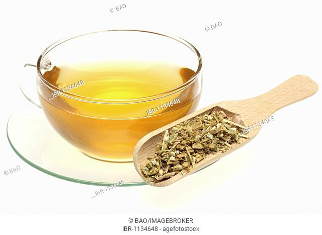 Herbal tea made of the medicinal plant Canadian Golden-rod (Solidago canadensis)