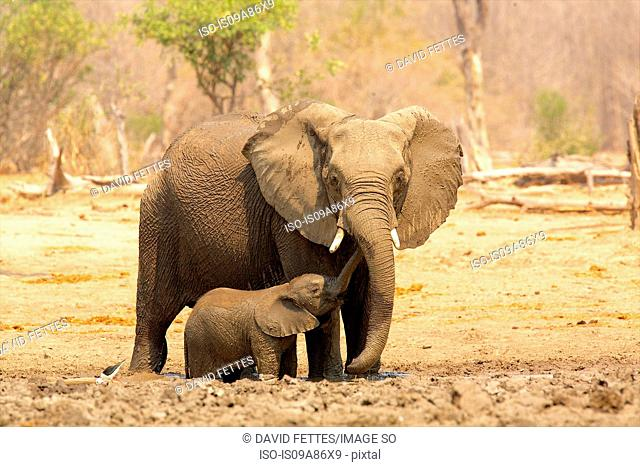 Elephant, Loxodonta africana, and calf