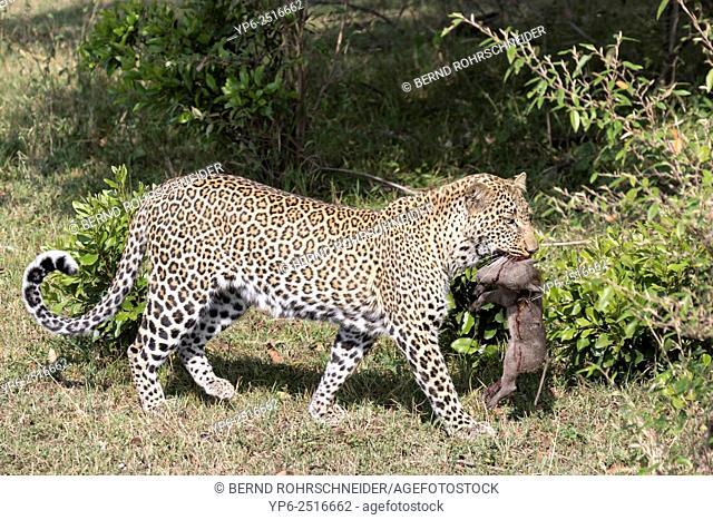 Leopard (Panthera pardus) carrying young Warthog (Phacochoerus africanus) prey, Masai Mara, Kenya