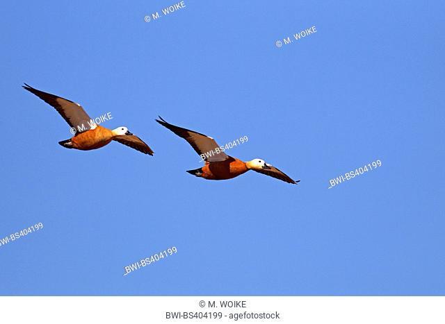 ruddy shelduck (Tadorna ferruginea, Casarca ferruginea), flying couple, Canary Islands, Fuerteventura