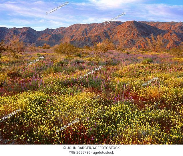 USA, California, Joshua Tree National Park, Sunset light on spring bloom of desert dandelion and Arizona lupine beneath the Cottonwood Mountains