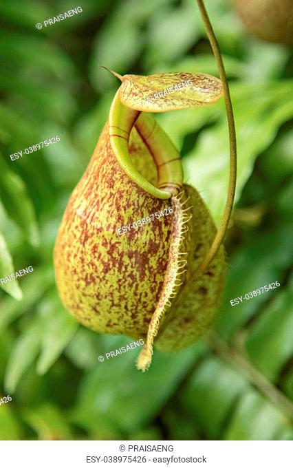 Close up of the nepenthes