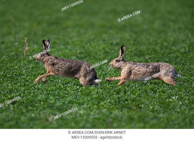 European Brown Hare - adult hares runnng - Germany