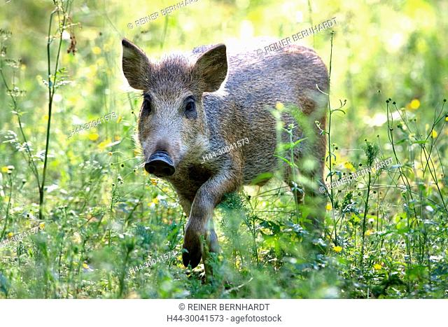 Pigs, real pigs, local animals, endemic animals, young wild boars, cloven-hoofed animals, sow, making a mess, making a mess in summer, black smock, black game