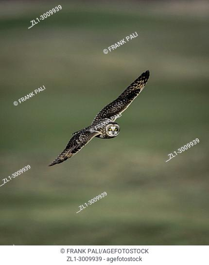 Hunts by flying low over the ground, often hovering before dropping on prey. Reportedly finds prey mostly by sound but also by sight
