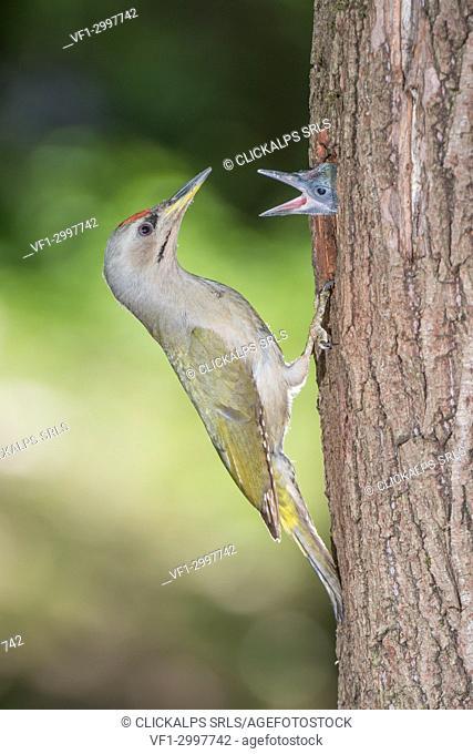 Grey-headed woodpecker on the nest, Trentino Alto-Adige, Italy