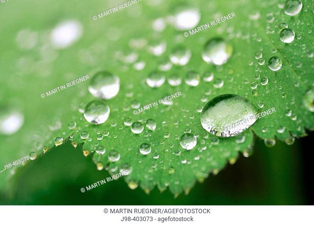 Leaf with raindrops at 'Lady's Mantle' (Alchemilla vulgaris)