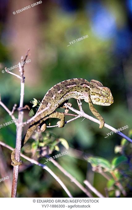 Common Chameleon Chamaeleo chamaeleon  Malaga  Andalucia  Spain