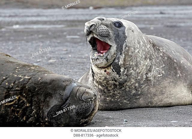 Southern Elephant Seal (Mirounga leonina). Hannah Point, Livingston Island, South Shetland Islands, Antarctica