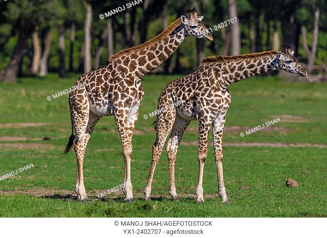 Giraffes - young giraffes - Masai Mara National Reserve, Kenya