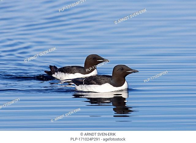 Two thick-billed murres / Brünnich's guillemots (Uria lomvia) swimming in sea, native to the sub-polar regions of the Northern Hemisphere, Svalbard