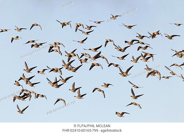 Pink-footed Goose (Anser brachyrhynchus) flock, in flight, Berwickshire, Scottish Borders, Scotland, November
