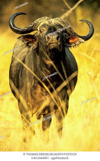 African Buffalo (Syncerus caffer caffer) - Bull. South Luangwa National Park, Zambia