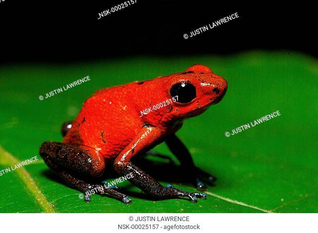 Almirante morph Strawberry Poison Frog (Oophaga pumilio) resting on a leaf, Panama