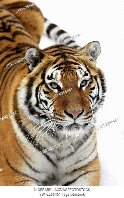 Siberian Tiger, panthera tigris altaica, standing on Snow