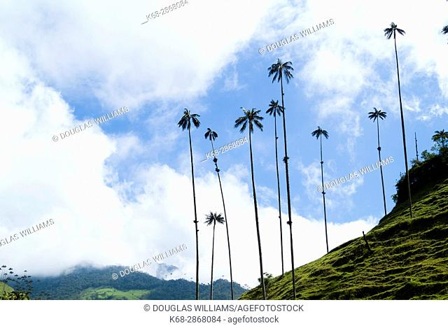 Wax palm trees, The Corcora valley, part of the Los Nevados National Natural Park, near Salento, Colombia, South America